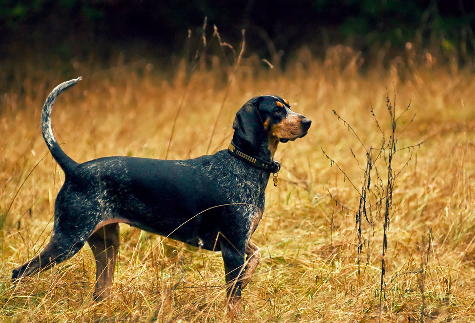 What Is The Best Pheasant Hunting Dog
