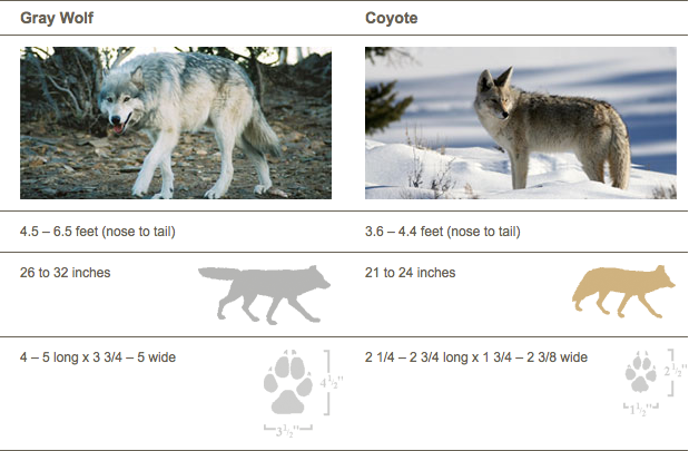 Wolf & Coyote Comparrison