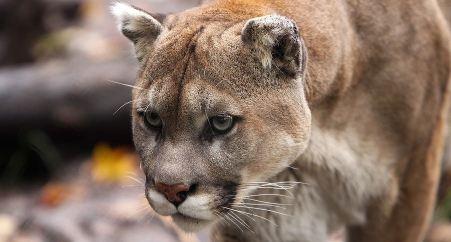 featured-mtn-lion-sd-senator