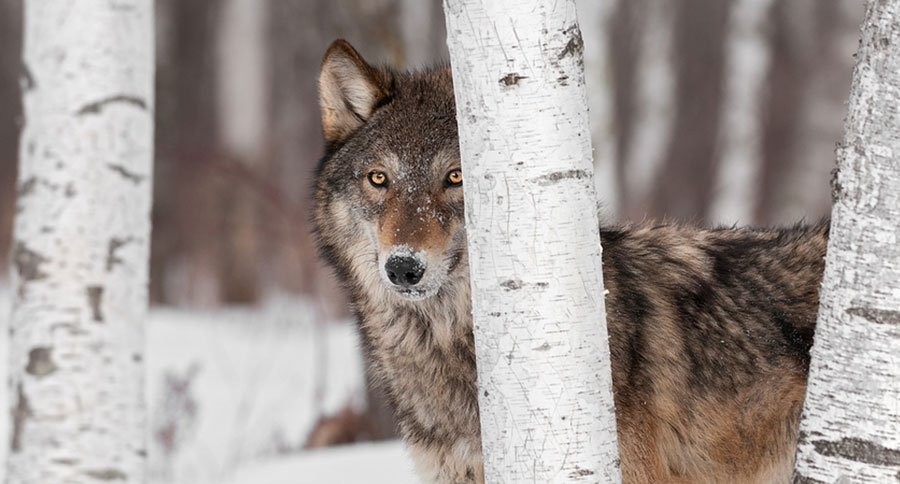 More on the Coyote/Wolf Conundrum