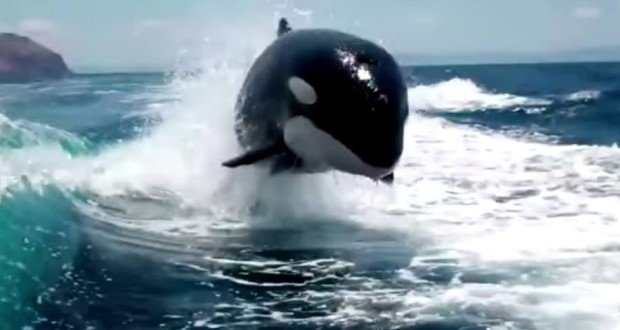 When Killer Whales Chase Your Boat, You Better Have Your Camera [VIDEO]