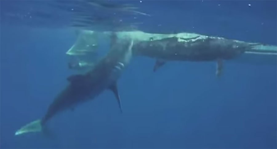 Huge Mako Shark Attacks Marlin While Angler Films Underwater