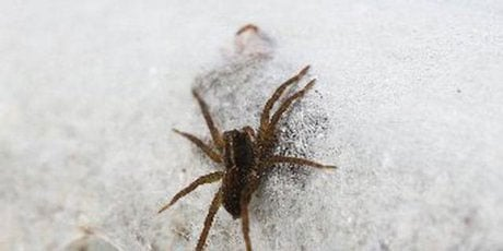 new-zealand-spiders-2