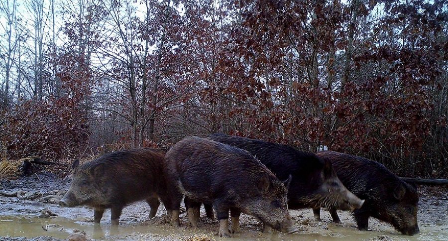 Feral Hogs in Virginia