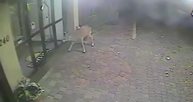 Deer Rushes Through Hotel Lobby [VIDEO]