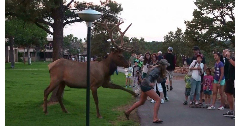 wildlife encounter elk