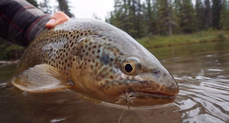 Big brown trout on a mayfly