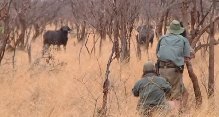 Intense, Close Range Tanzania Cape Buffalo Hunt