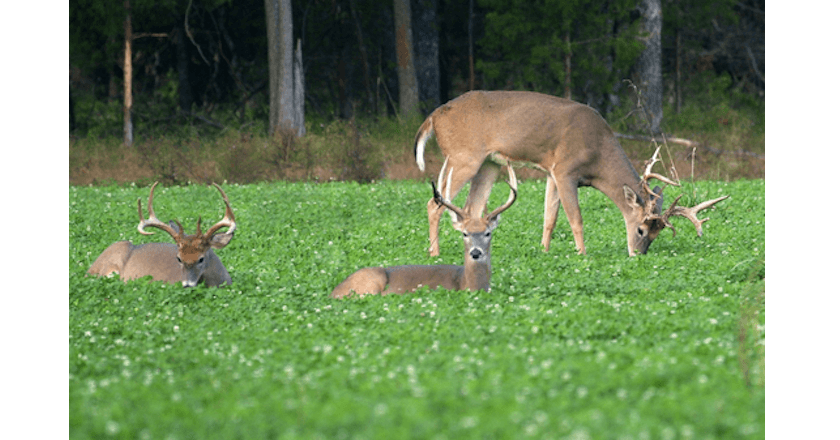 Best Fall Food Plot Seed For Deer