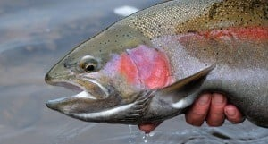 big-rainbow-trout