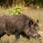How to Make Hog Bait at Home