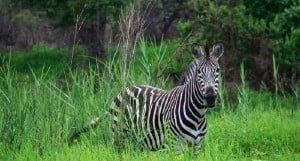 african animal of the week zebra