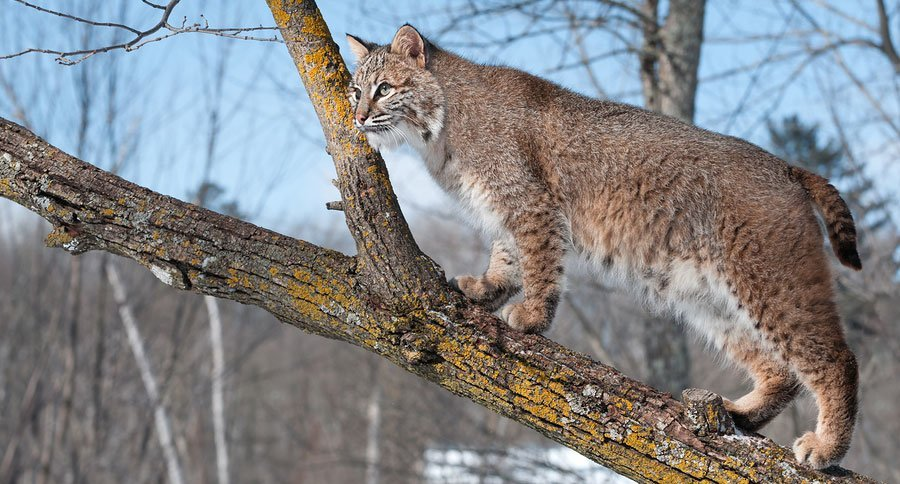 bigstock-Bobcat-Lynx-rufus-In-Tree-45040525