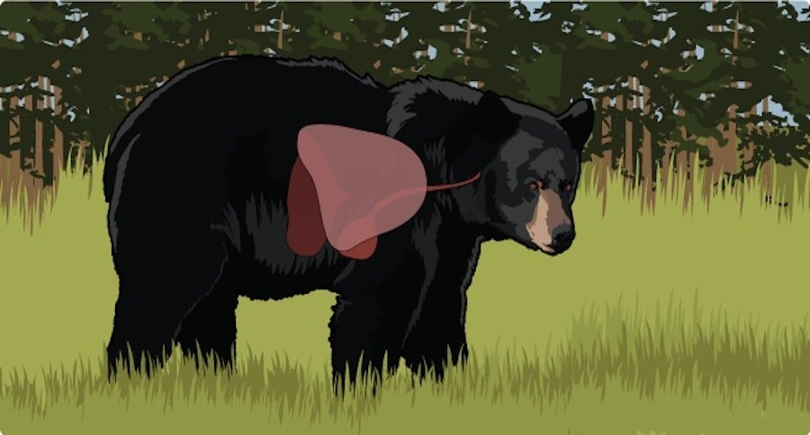ftd bear shot learn the proper shot placement on a black bear