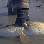 Catching Muddy Water Pikes—on a Fly Rod! [VIDEO]