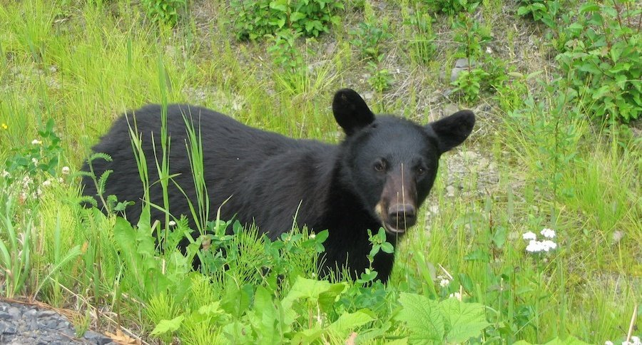 You still can 39 t harvest black bears in alabama for Alabama game and fish regulations