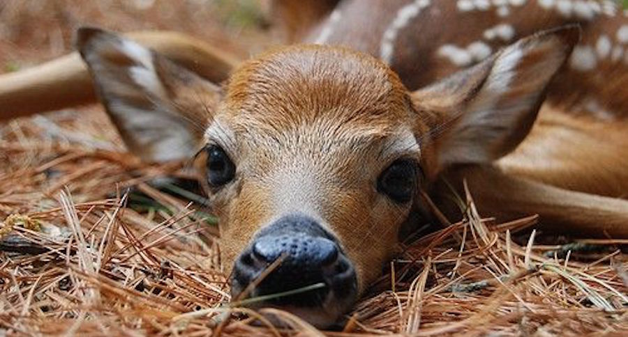 11 Whitetail Fawn Facts You Might Not Have Known Pics