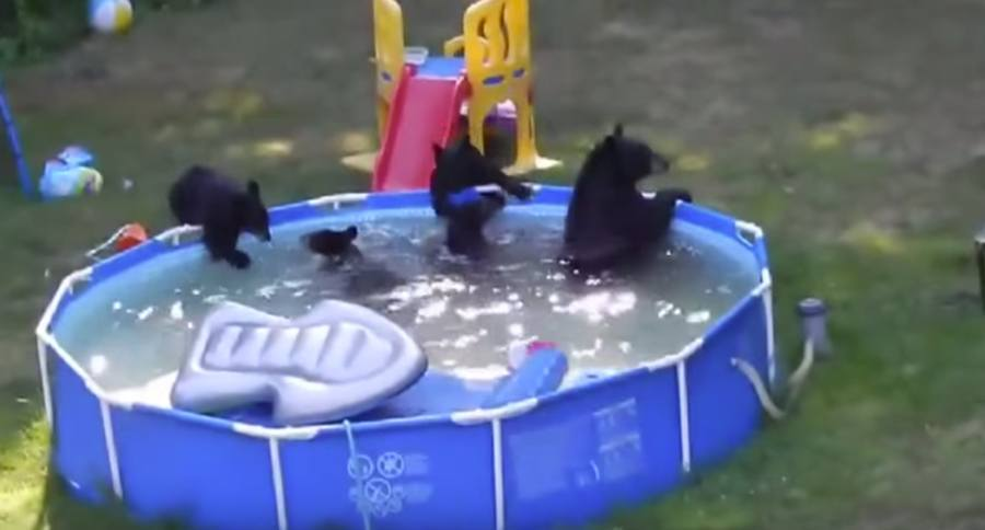 39 They Broke My Floatie 39 New Jersey Black Bears Swim In Family Pool Video