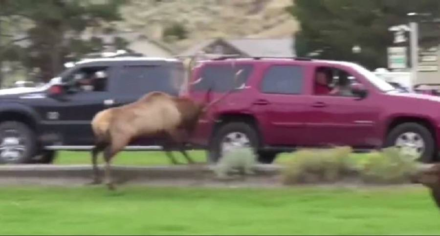 Elk Tries To Ram Car On City Street