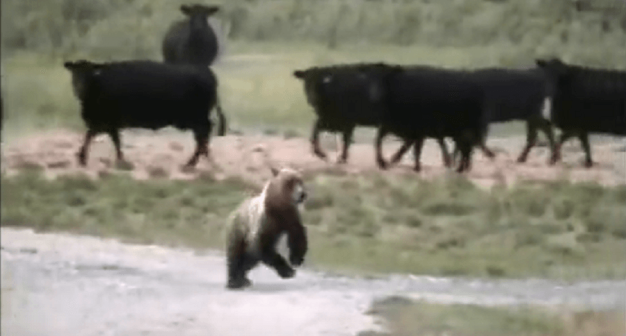 Watch These Cows Chase A Grizzly Bear Near Yellowstone National Park
