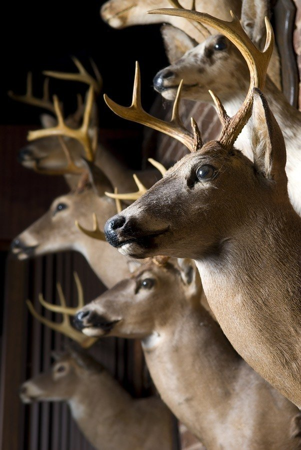 Buck Deer Heads