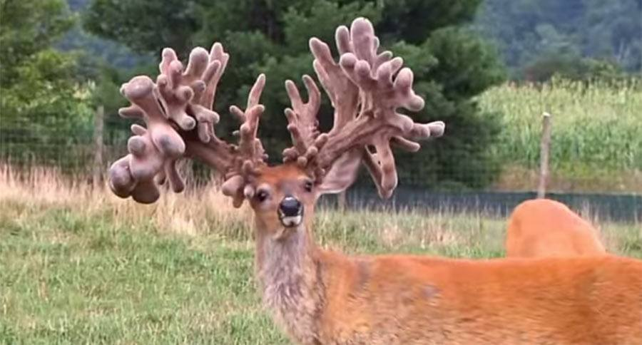 the largest whitetail deer rack belongs to this captive buck named