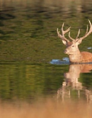 Man Fined For Hitting Swimming Deer On the Head In British Columbia