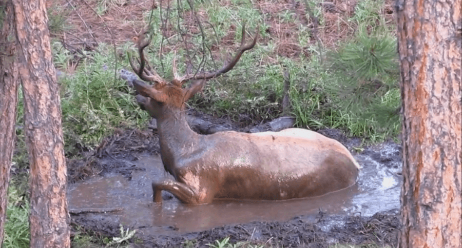 Bull Elk Puts On His Best Mud Wallow Suit For Rut Video