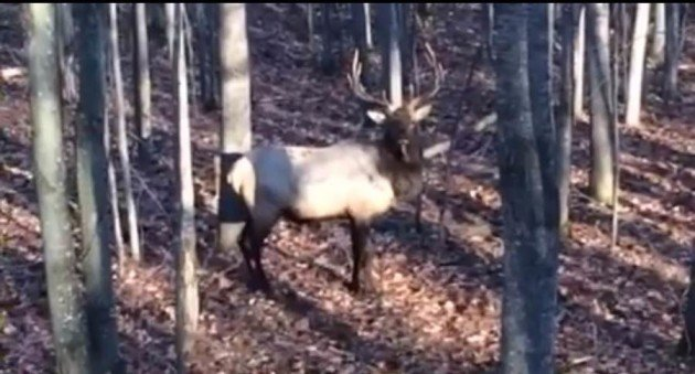 Michigan elk herd catches deer hunter by surprise for Glasplatte hinter herd