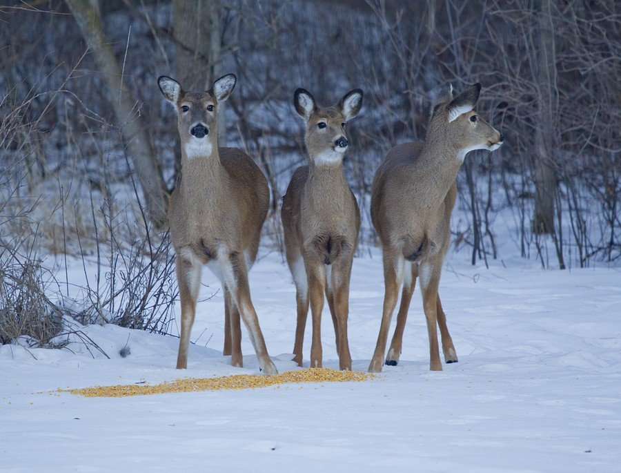 Three Whitetail Deer Alert At Corn
