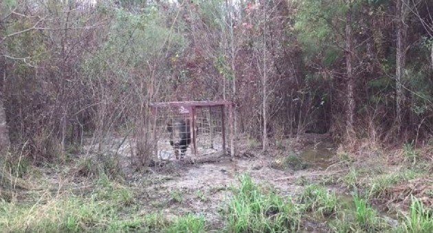 Trapping Hogs In Louisiana Somebody Is Having BBQ Pork For Dinner Tonight