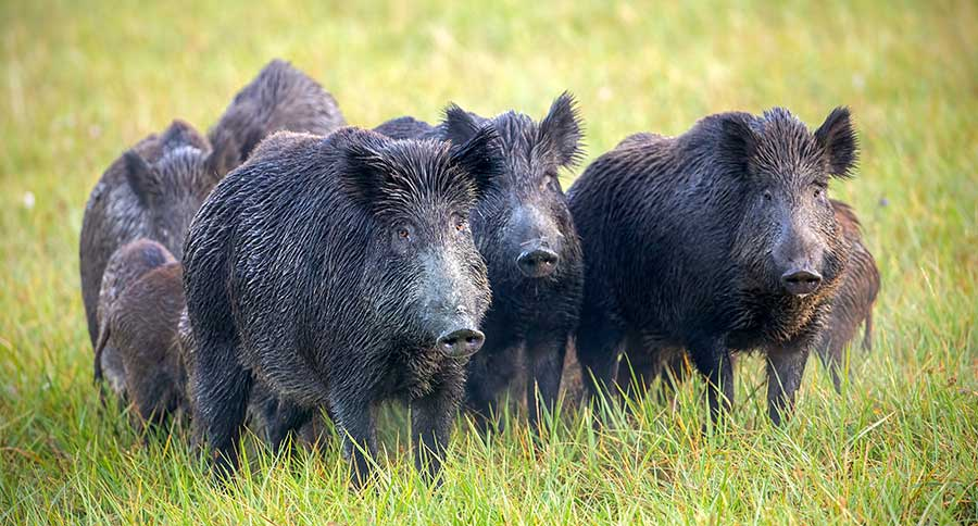 Best States For Hog Hunting