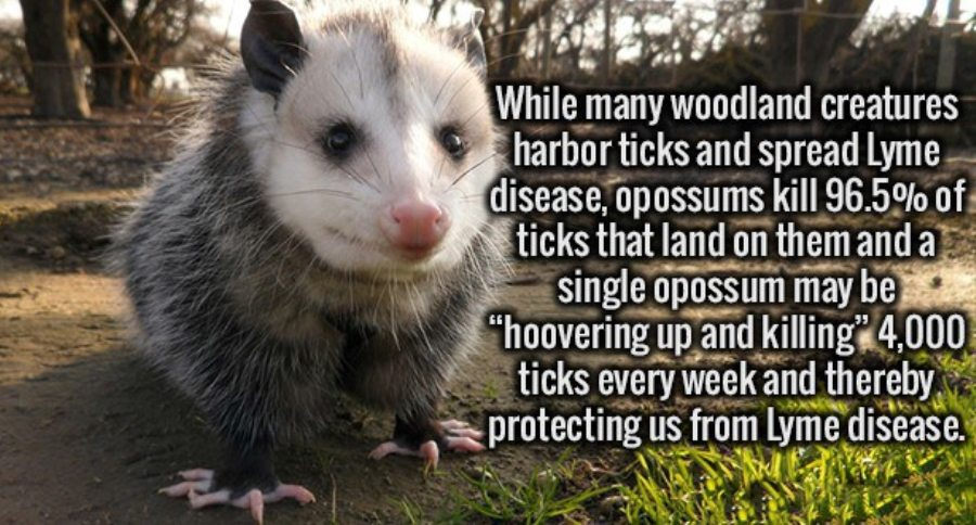 Did You Know That Opossums Eat Virtually All The Ticks In