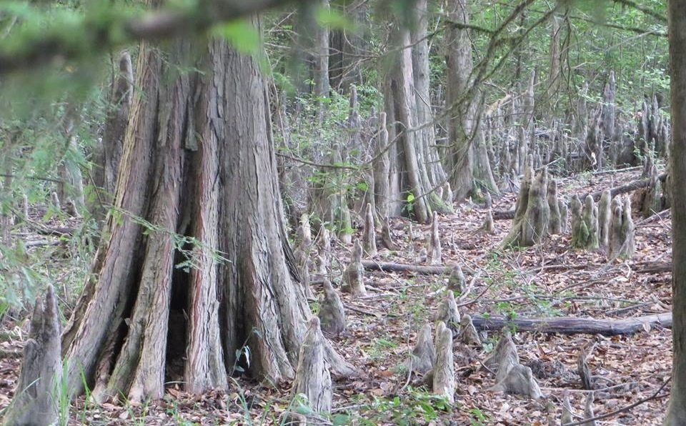 "Bald Cypress trees (Photo Courtesy of ""Gettin' Outdoors with Big Daddy Lawler"")"