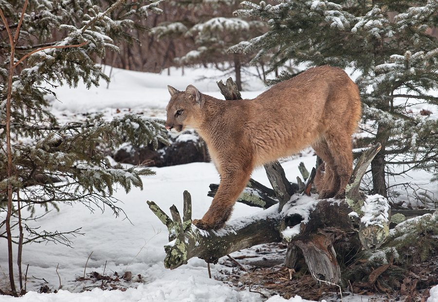 Portrait of a cougar, mountain lion, puma, panther, striking a pose on a fallen tree limb, during a snowfall.  Winter scene