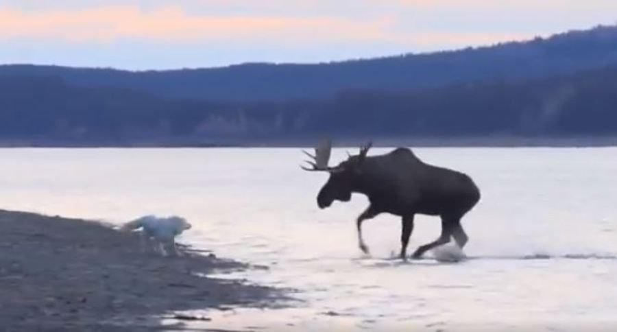 Dog Vs Bull Moose Incident On The Yukon River Will Have