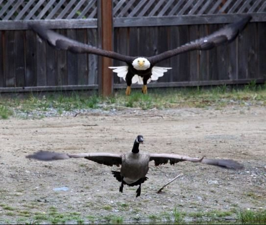 Usa Vs Canada Bald Eagle And Canada Goose Battle It Out