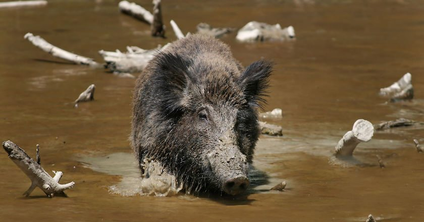 Top 10 States to Hunt Hogs in the US south carolina