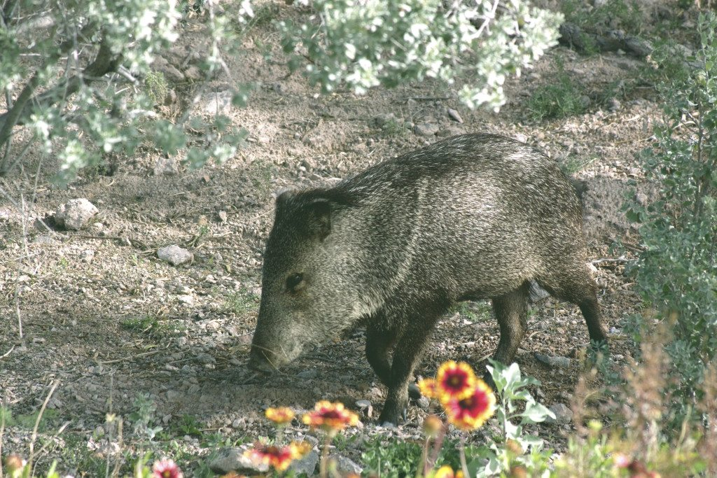 Javelinas are members of the peccary family. Aslo known as wild hogs or pigs. Photo of Javalina in the desert of Tucson, Arizona