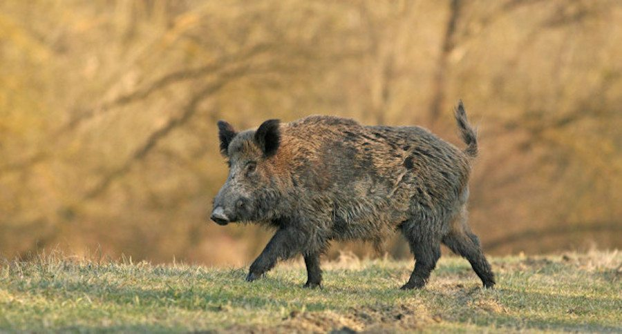 You Can Hunt Hogs Year Round in These 12 States