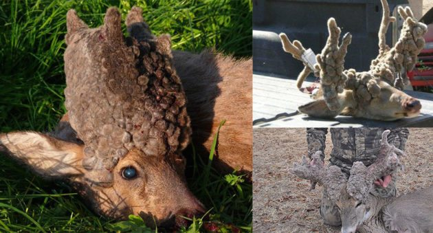 cactus buck syndrome
