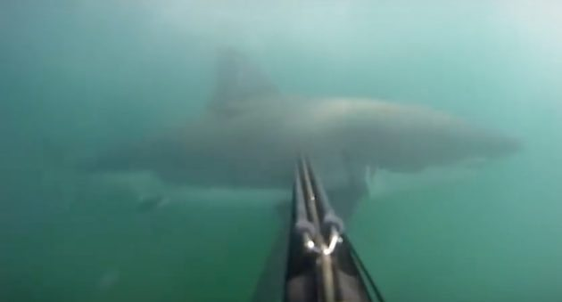 great white shark attack gopro