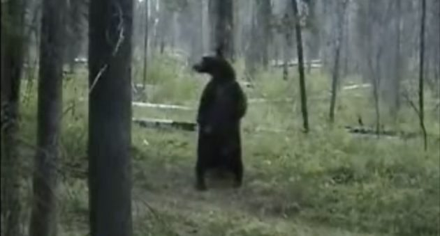 pole dancing montana style You Need To See This Grizzly Bear Go Pole Dancing Montana Style