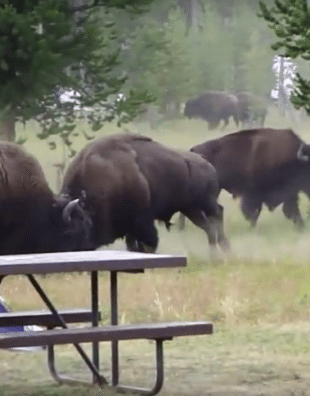 buffalo battle