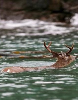 swimming buck