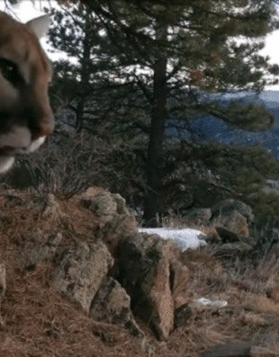 mountain lion's chirping
