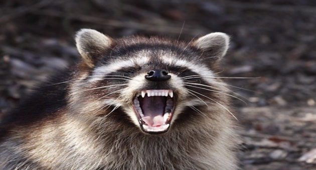 rabid raccoon
