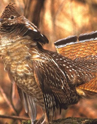 Wisconsin ruffed grouse