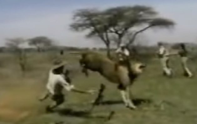 mauled badly by a huge lion