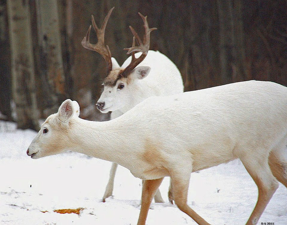 15 Really Cool Piebald And Albino Deer For Whitetailwednesday